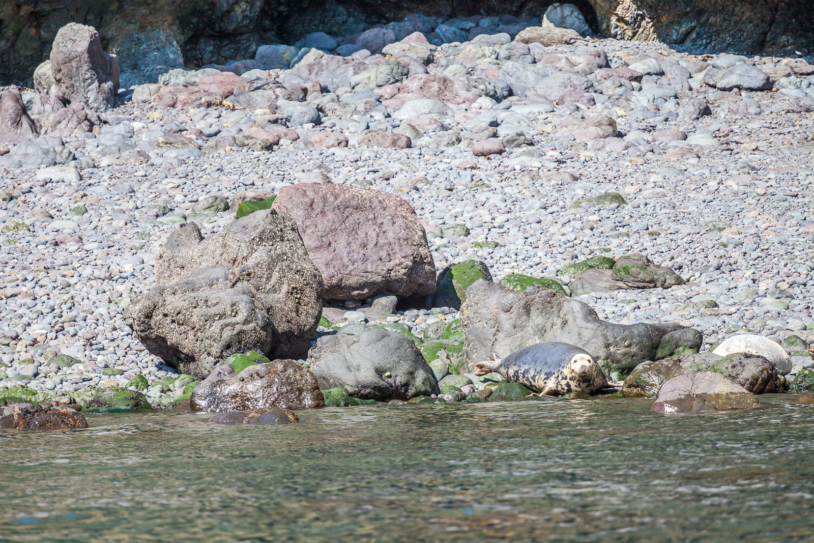 Seal on the Pembrokeshire Coast